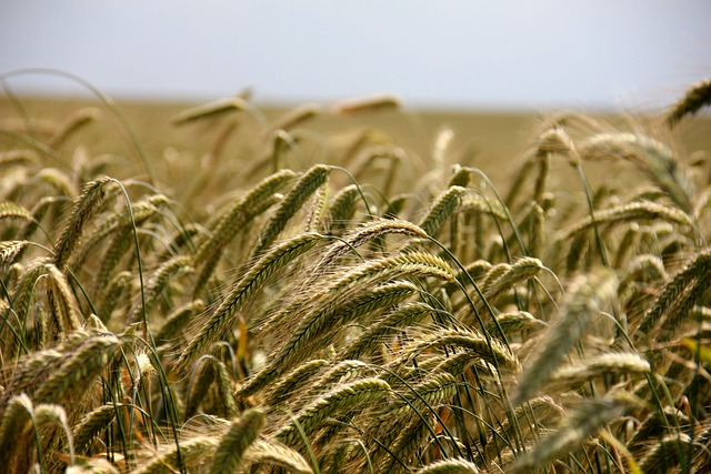 Field, Cereals, Rye, Agriculture, Rye Field, Arable