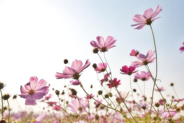 Flowers, Plants, Korea, Nature, Cosmos Factory, S