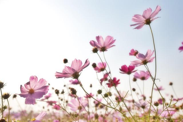 Flowers, Plants, Korea, Nature, Cosmos Factory, S