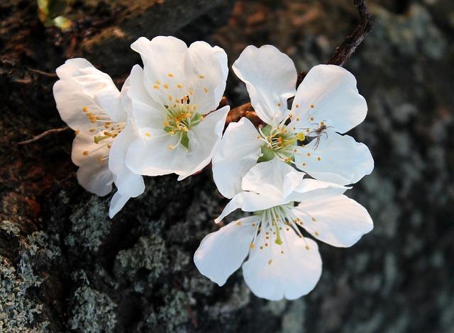 Cherry, Sad, Flowering Trees, Spring, Nature, Flower