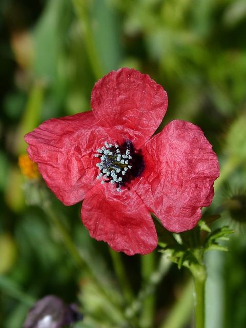 Papaver Hybridum, Poppy, Sad Poppy