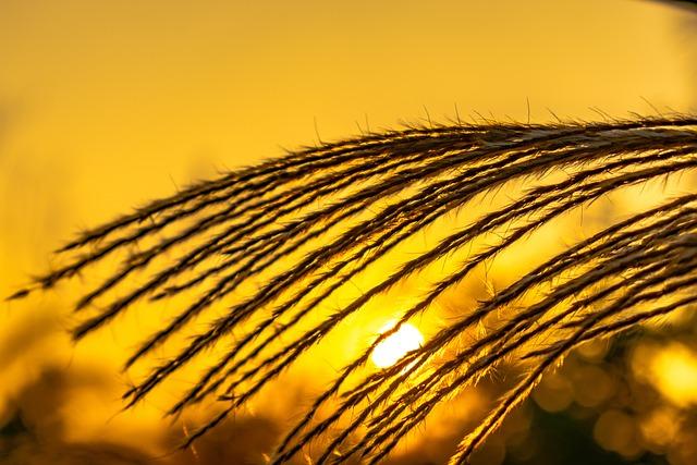 Thatched, Pampas Grass, Sunset, Sad, Gold