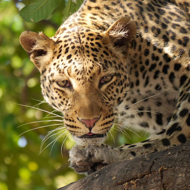 Leopard, Safari, Wildier, Botswana, Africa