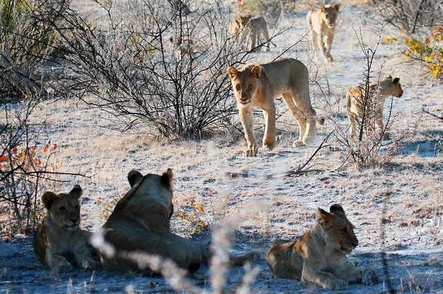 Lion, Etosha, Namibia, Africa, Safari, Pride Of Lions