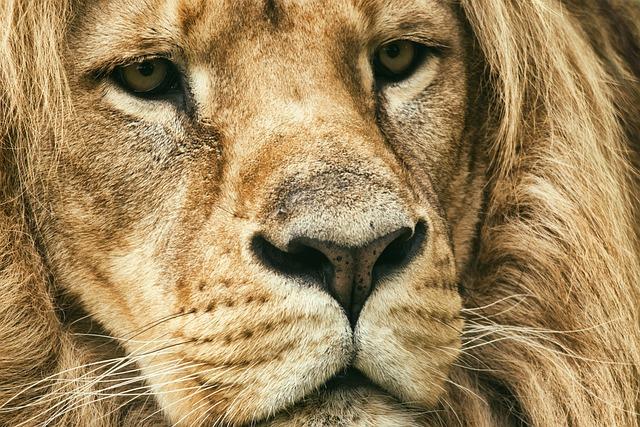 Lion, Tawny, Predator, Africa, Zoo, Mane, Safari, Male