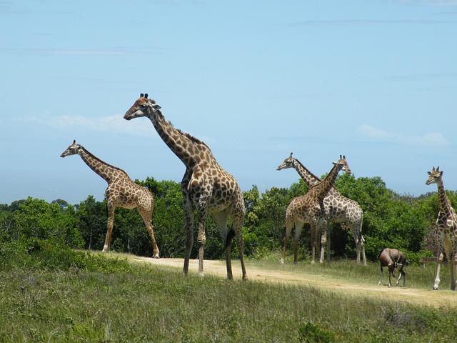 Giraffe, Wild, Animal, Mammal, Nature, Africa, Safari