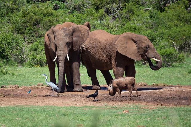 Elephants, Africa, Safari, Big Five, Mammals, Wild Ife
