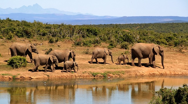 Elephants, Herd, Safari, Calves, Baby Elephants