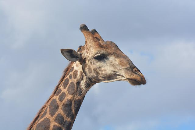 Giraffe, Kruger National Park, Safari, Wildlife