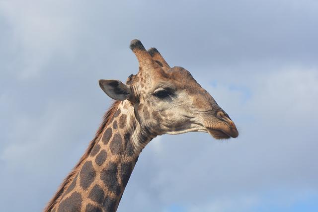 Giraffe, Kruger National Park, Safari, Wildlife
