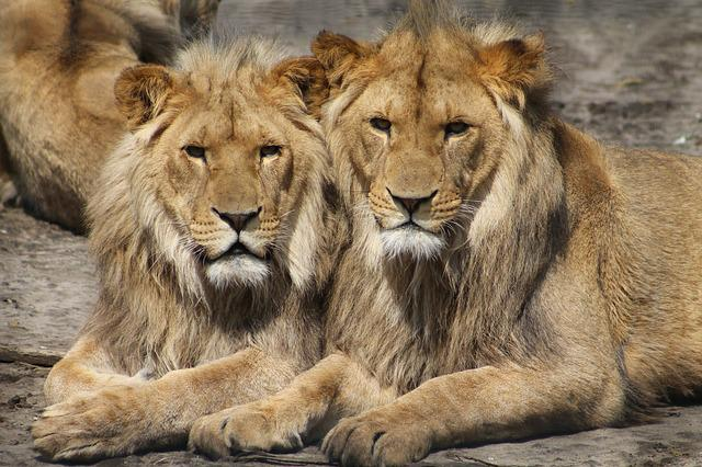Lions, Zoo, Animal, Safari, Africa, Big Cats