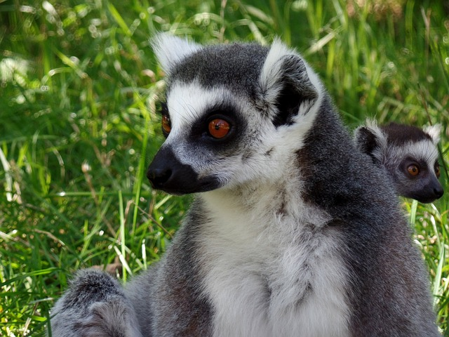Lemur, Park, Knuth Borg, Safari Park, Close, Ape