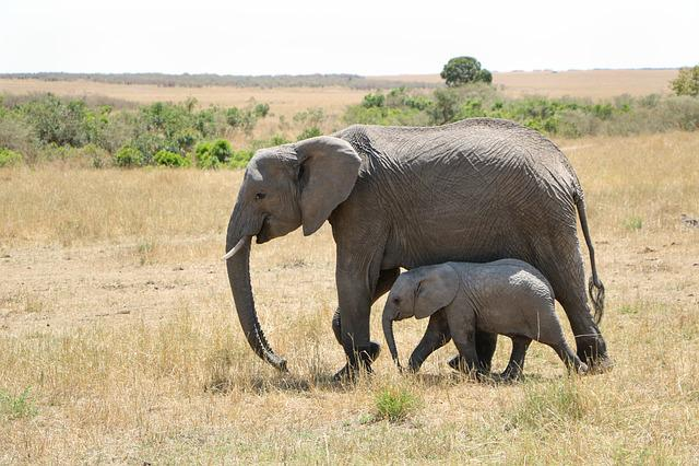Mammal, Wildlife, Animal, Safari, Elephant, Savanna