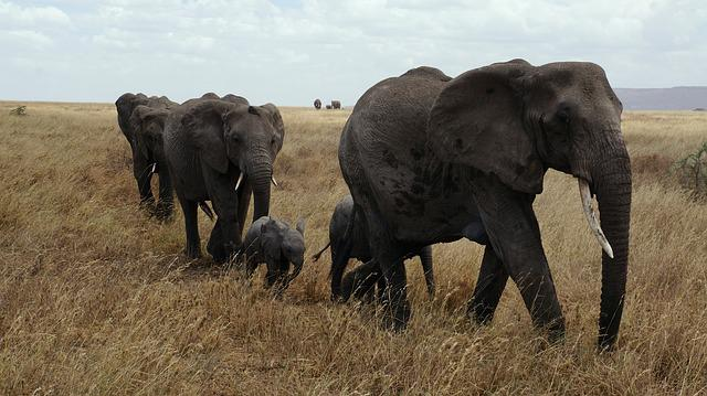 Elephant, Serengeti, National Park, Pachyderm, Safari