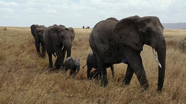 Elephant, Serengeti, National Park, Pachyderm, Safari