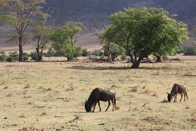 Wildebeest, Safari, Tanzania, Antelope, Africa, Nature