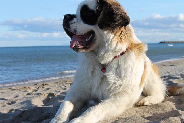 Dog, Saint-bernard, Beach, Sand