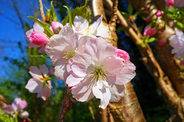 Cherry Blossom, Flower, Tree, Cherry Tree, Sakura