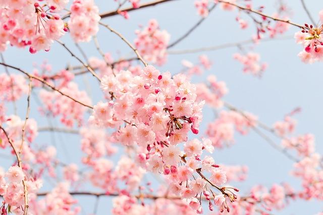 Cherry Blossom Tree, Pink, Flowers, Sakura Flowers