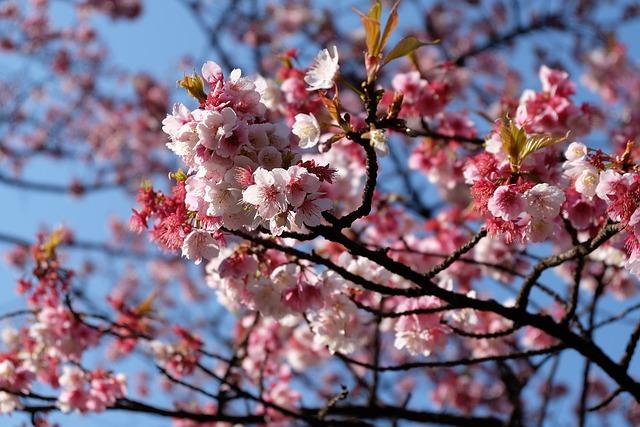 Sakura, Cherry, Blossum, Tokyo, Flower, Japan