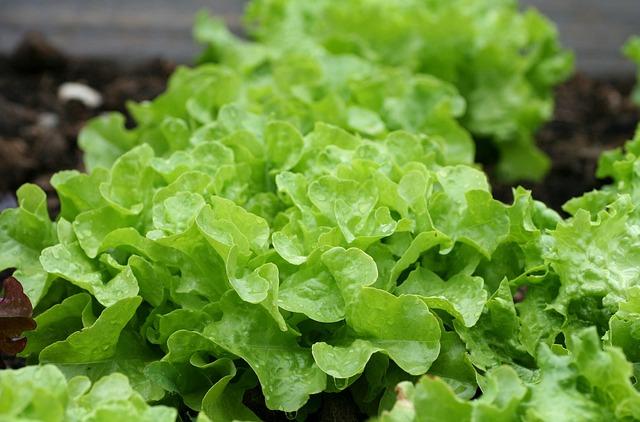Salad, Green, Leaves, Vegetable Garden, Garden, Plant
