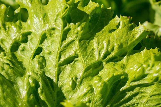 Salad, Iceberg Lettuce, Lettuce Leaves, Structure