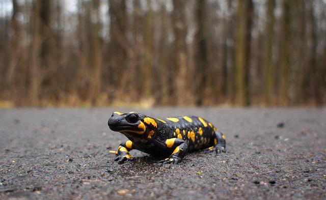 Nature, Salamander, Fire Salamander, Animal