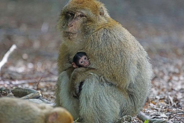Barbary Ape, Baby, Monkey Mountain, Salem