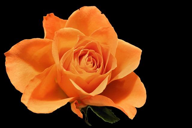 Rose, Blossom, Bloom, Salmon, Orange Rose