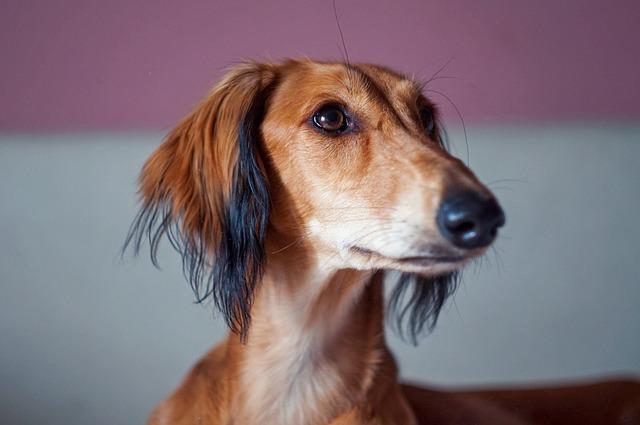 Free photo Saluki Animal Hound Breed Dog Persian Hound - Max Pixel