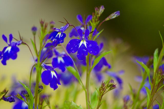 Salvia, Flowers, Blue Flowers, Drops Of Water