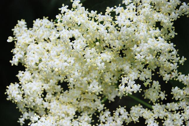 Elderberry, Sambucus, Elderflower, Tree, Common, Plants