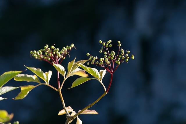 Elder, Adoxaceae, Holler, Plant, Berries, Sambucus