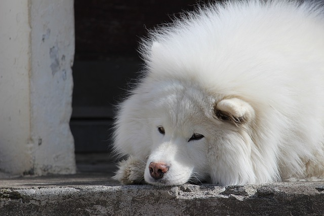 Samoyed, Dog, Canine, Pet, Animal, White, Doggy, Fluffy