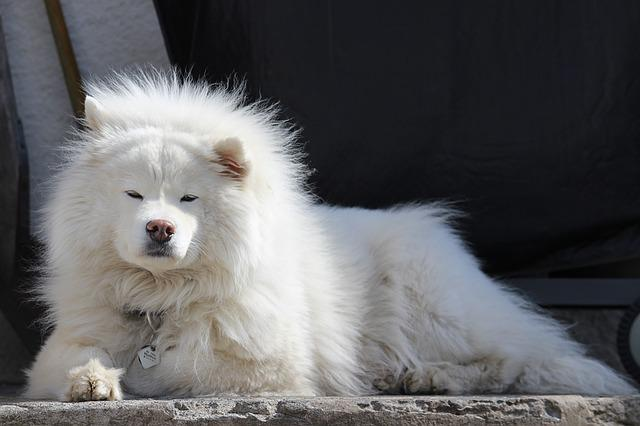 Dog, Large, White, Iceland, Samoyed, Canine, Animal