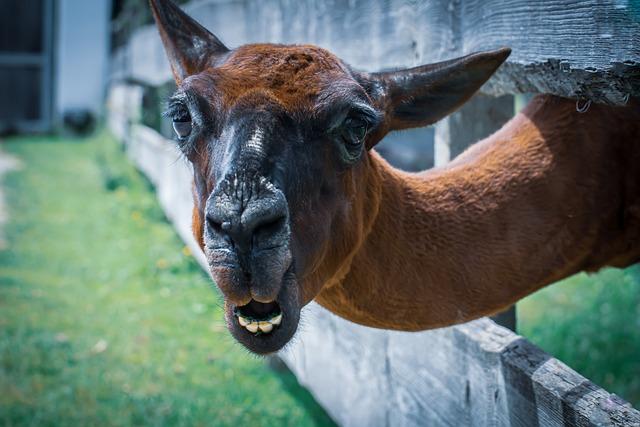 Lama, Animal, Cute, Good Aiderbichl, Sanctuary
