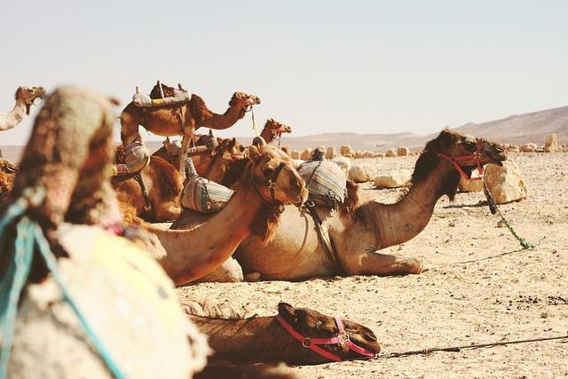 Animals, Camels, Desert, Dry, Rocks, Sand