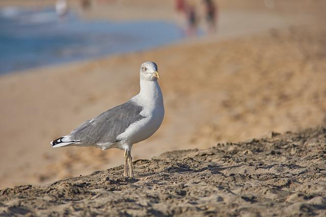Seagull, Beach, Sea, Sand, Surf, Sand Beach, Bird