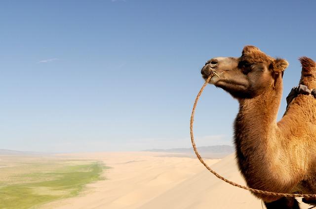 Gobi, Desert, Mongolia, Camel, Fear, Sand Dune