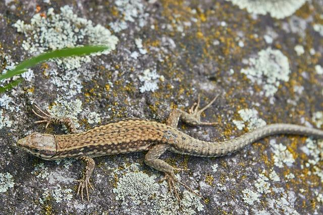 Lizard, Stone, Reptile, Rock, Sand Lizard, Summer