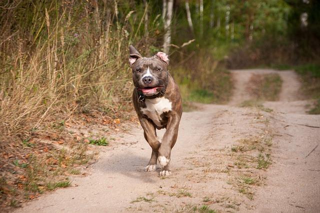 Dog, Run, Race, Amstaff, Stafford, Pitbull, Sand