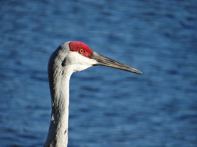 Sandhill Crane, Crane, Sandhill, Bird