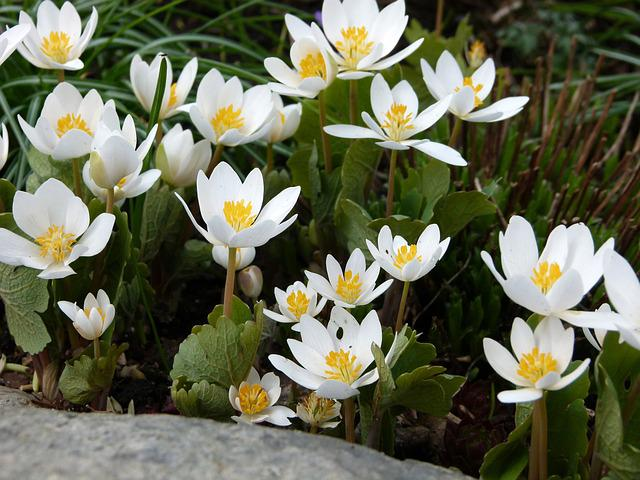 Blood Turmeric, Flowers, Sanguinaria, Spring