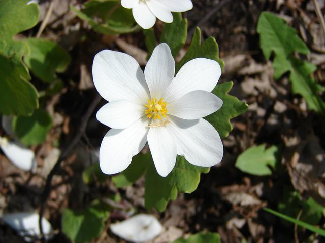 Flower, Wild, Sanguinaria, Canadensis, White, Spring