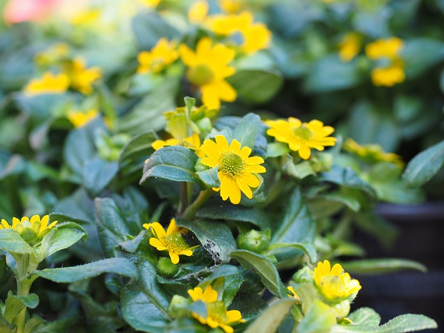 Hussar Button, Flowers, Yellow, Sanvitalia Procumbens