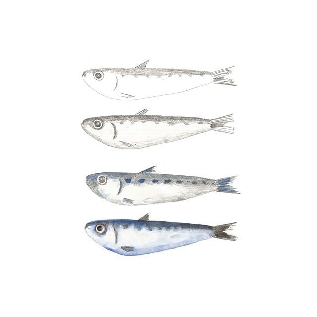 Sardine, Fish, Pencil, Drawing, Birth, Illustration