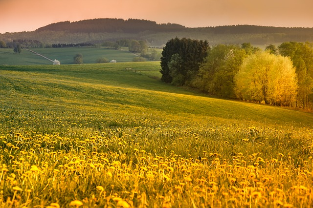 Sauerland, Evening Sun, Dandelion, Blossom, Bloom