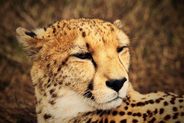 Cheetah, Wild, Africa, Fauna, Savannah, Wildlife