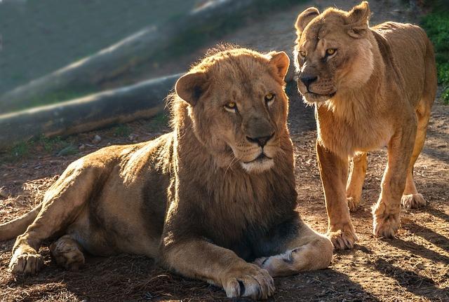 Lions, Carnivores, Savannah, Wild, Africa, Couple