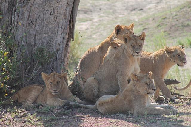 Tanzania, Pride Of Lions, Savannah
